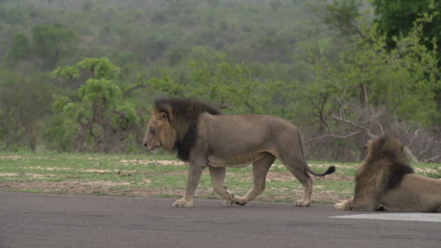 two male lions on an airstrip in the kruger national park, south africa - sideways glance stock videos & royalty-free footage