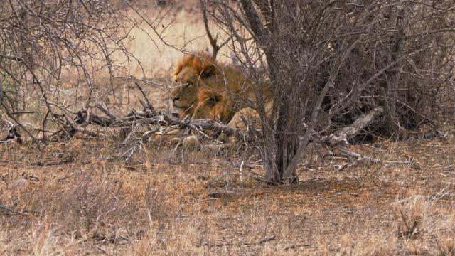 vídeos de stock, filmes e b-roll de dois leões masculinos que descansam atrás do arbustos - animais machos