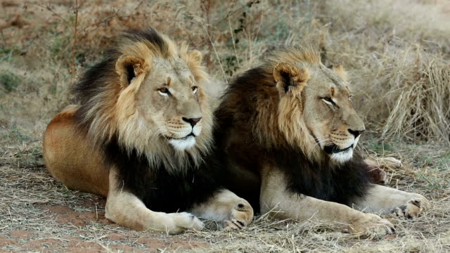 Two male lions sitting next to each other