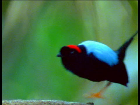 Two male long-tailed manakins dance to impress female