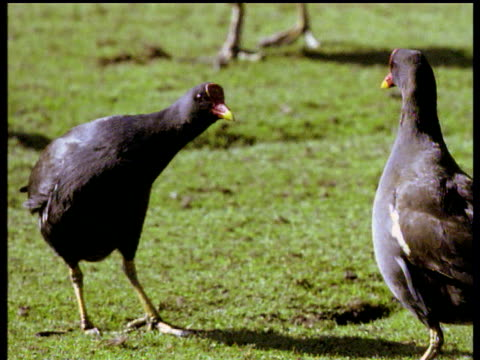 two male moorhens square up and display to each other, then chase, over territory, uk - other stock videos & royalty-free footage
