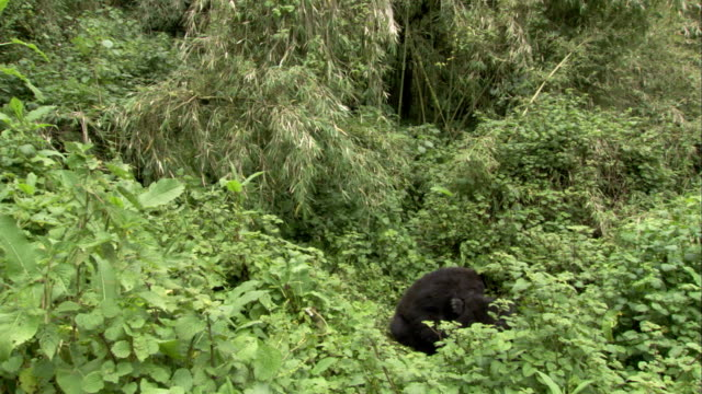Two male mountain gorillas play amid leafy vegetation. Available in HD.