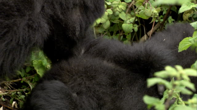 Two male mountain gorillas wrestle. Available in HD.