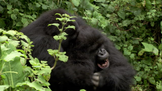 Two male mountain gorillas wrestle in a jungle. Available in HD.
