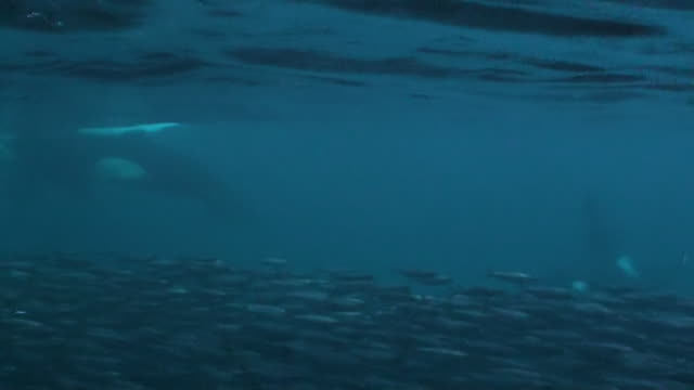 vidéos et rushes de two male orcas and an extremely large herring bait ball, senja area of northern norway. - épaulard