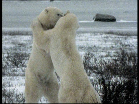 two male polar bears wrestling in snow, churchill, canada - bbc stock videos and b-roll footage