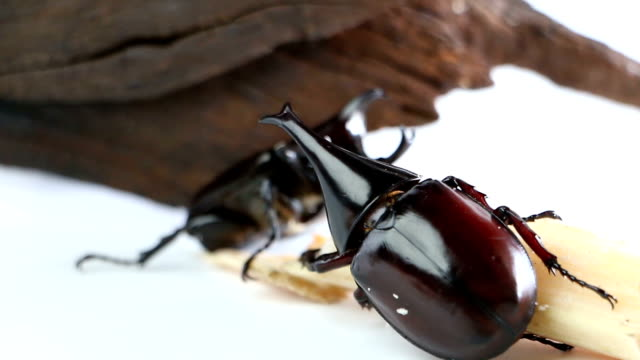 two male rhino beetle eating time on sugarcane. - colore isolato video stock e b–roll