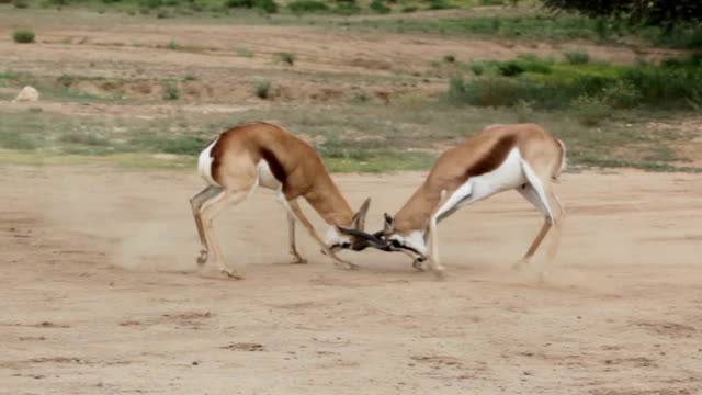 two male springbok fighting for dominance, kgalagadi transfrontier park, south africa - conflittualità video stock e b–roll