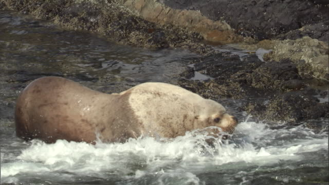 vidéos et rushes de two male steller's sea lions fight in the shallows. available in hd. - lion de mer
