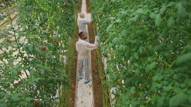 csハイテク温室でトマト植物をチェックする2人の男性技術者 - グリーンハウス点の映像素材/bロール