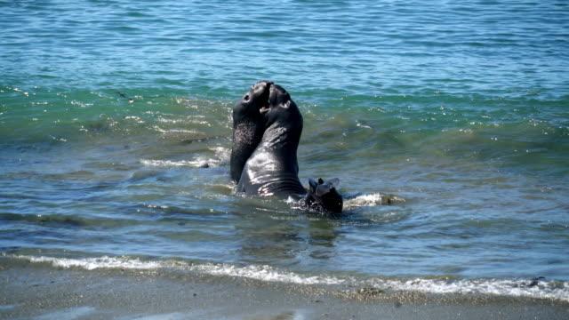 vídeos de stock e filmes b-roll de two males fight - elefante marinho