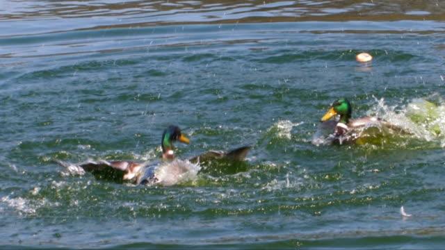 stockvideo's en b-roll-footage met two mallard drakes fighting in pond - eend watervogel