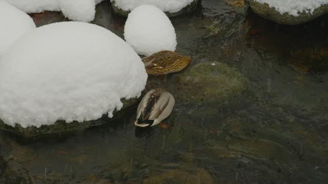 close up tracking shot two mallard ducks feed in stream as snow falls - 鳥 カモ点の映像素材/bロール