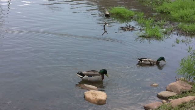 Two Mallard ducks swimming and cleaning