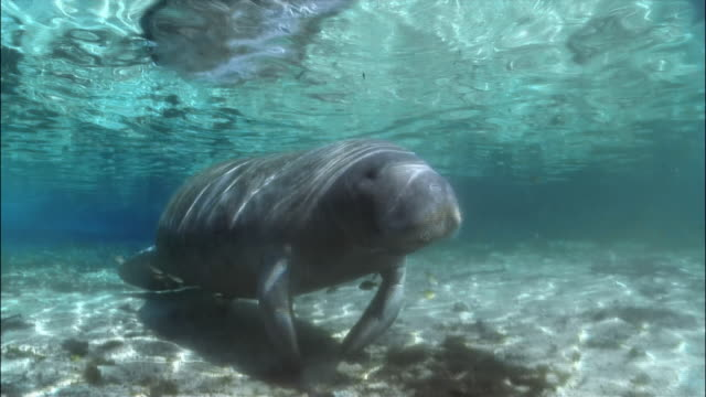 ms, pan, two manatees at ocean floor, florida, usa  - rundschwanzseekuh stock-videos und b-roll-filmmaterial