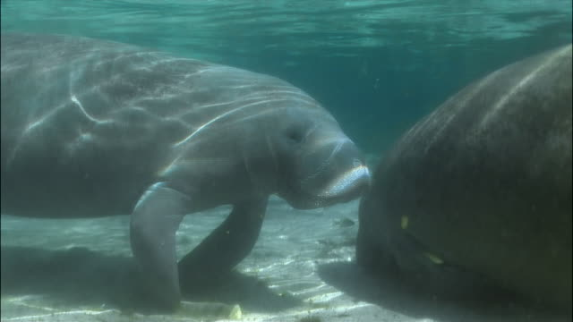 cu, two manatees at ocean floor, florida, usa  - lamantino video stock e b–roll