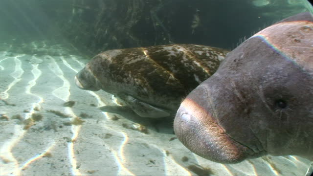 MS TS Two manatees swim slowly along sandy seafloor  AUDIO / Crystal River, Florida, United States