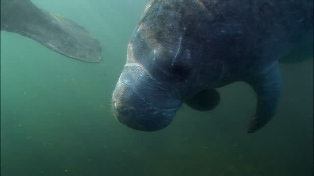 vídeos y material grabado en eventos de stock de cu, pan, two manatees swimming underwater, florida, usa  - manatí