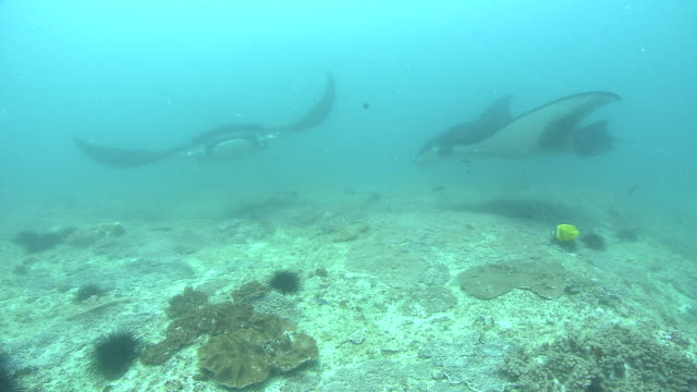 two manta rays forage along the seabed. available in hd. - zanzibar archipelago stock videos & royalty-free footage