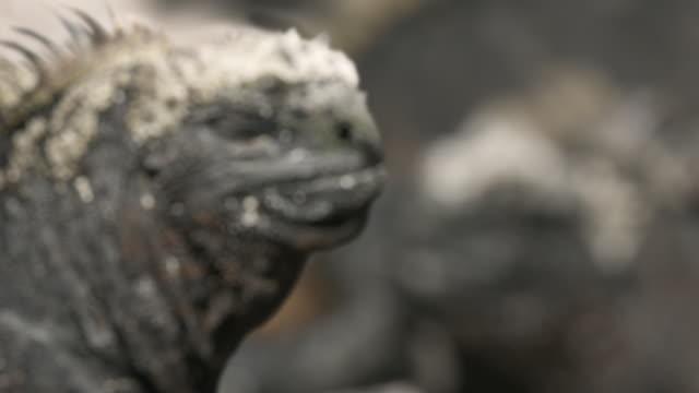 vídeos de stock e filmes b-roll de cu r/f two marine iguanas (amblyrhynchus cristatus), punta espinosa, galapagos islands, ecuador - objeto pontudo
