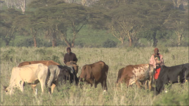 Two Masai boys with their cattle, Kenya, Africa