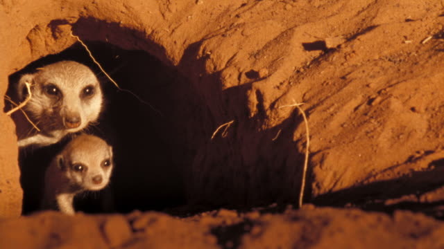 Two meerkats emerge from a burrow. Available in HD.