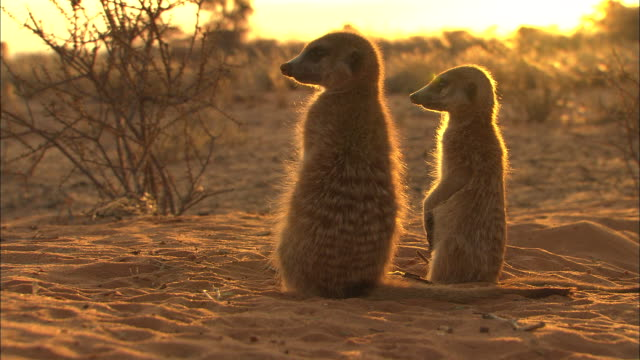 ms, two meerkats looking around at sunset, south africa - two animals stock videos & royalty-free footage