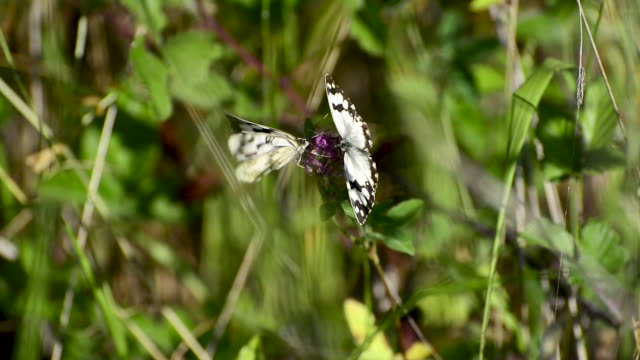 Two Melanargia lachesis butterflies on a flower
