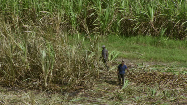 vidéos et rushes de two men harvest sugarcane in a field in jamaica. - sugar cane