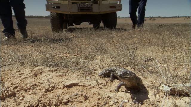 vídeos de stock, filmes e b-roll de slo mo, ms, two men passing aggressive lizard on dry grassland, truck in background, victoria, australia - 2007