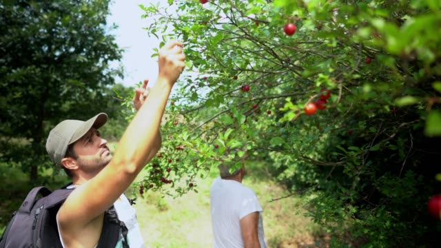 two men picking plums - plum stock videos & royalty-free footage