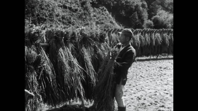 two men put bundles of harvested rice onto drying rack; 1964 - kyoto prefecture stock videos & royalty-free footage