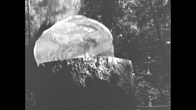 two men sawing through giant spruce tree / tree falls to ground away from camera / log dragged through forest by rope / log lifted by hooks soldier... - industria forestale video stock e b–roll