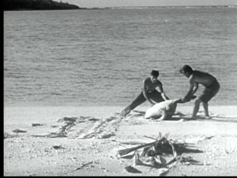 1949 b/w montage two men sneak up on large turtle on beach and flip it over. other men come and tie ropes to flippers and drag it back into water / likiep, marshall islands - heranlocken stock-videos und b-roll-filmmaterial