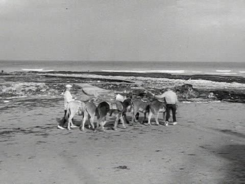 two men walk small herd of donkeys across beach. - pferdeartige stock-videos und b-roll-filmmaterial