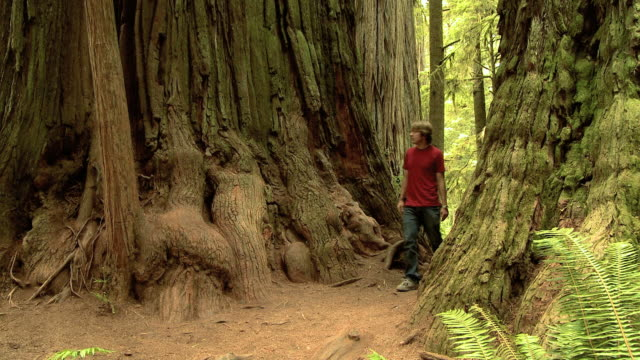 two men walking through giant sequoia trees - giant sequoia stock videos and b-roll footage