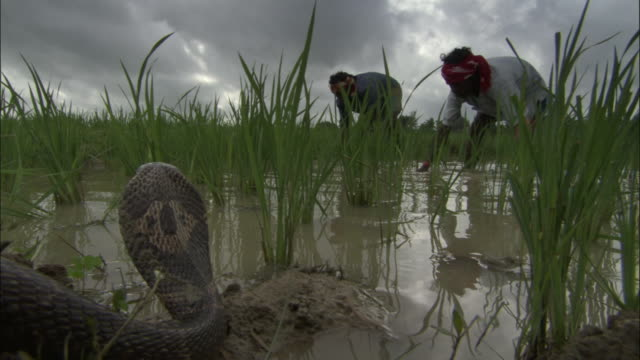 two men work in a paddy field near a cobra. available in hd. - alertness stock videos & royalty-free footage