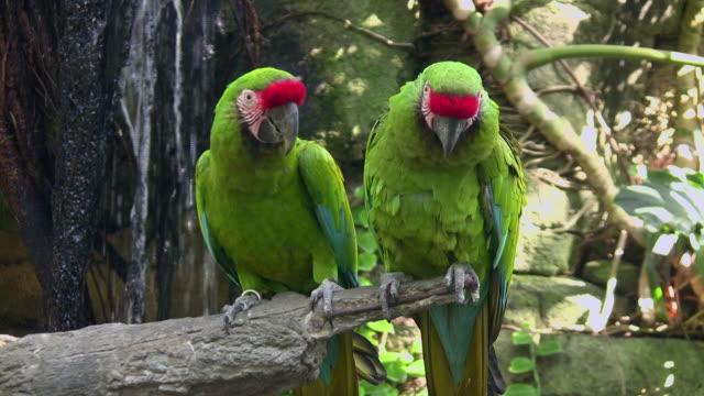 MS, Two Military Macaw (Ara militaris) on tree branch, Moody Garden, Galveston, Texas, USA