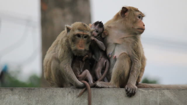 Two monkey-mothers with their childs.