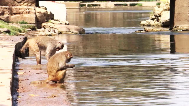 Two monkeys by the river