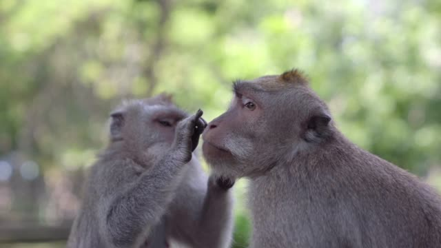 two monkeys in monkey forest / bali, indonesia - primate stock videos & royalty-free footage