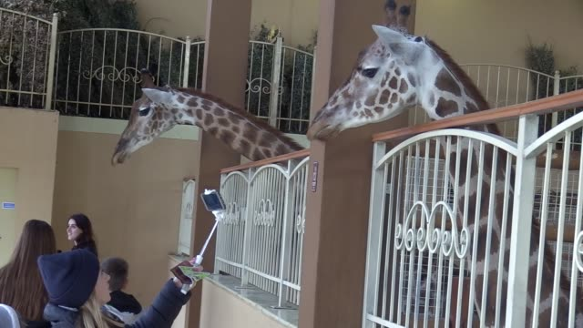 stockvideo's en b-roll-footage met a two months old baby giraffe called vito is seen at private zoo xii monthsnear demidov village in ukraine 20 october 2017 baby giraffe vito was born... - dierentuin