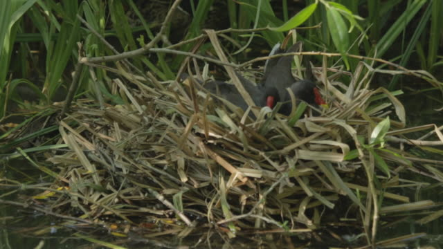 two moorhen sitting on nest - bird's nest stock videos and b-roll footage