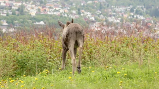 two moose calves in front of city - animals in the wild stock videos & royalty-free footage