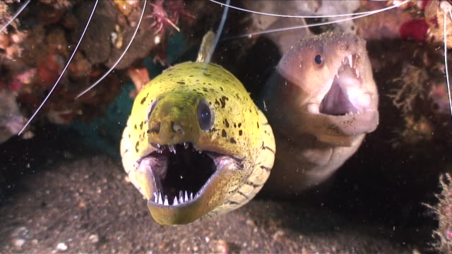 cu two moray eels in hole / lembeh strait, sulawesi, indonesia  - saltwater fish stock videos & royalty-free footage