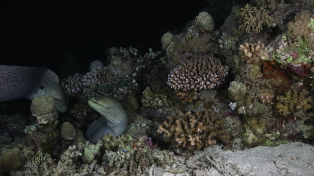 Two morray eels fight over an area of coral reef
