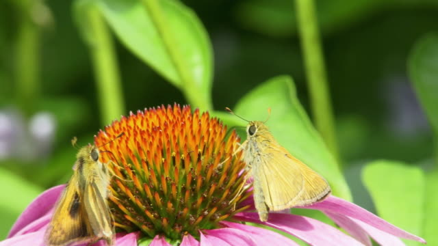 cu selective focus two moths collecting nectar from flower, north plainfield, new jersey, usa - staubblatt stock-videos und b-roll-filmmaterial