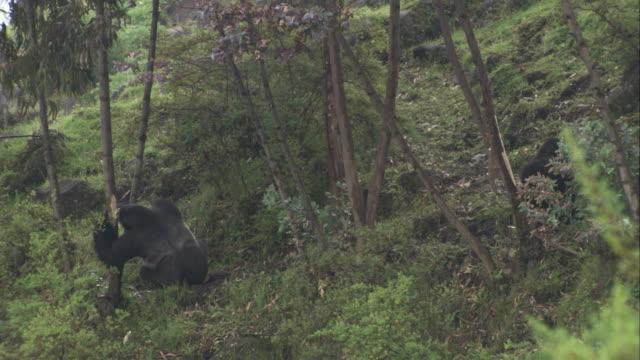 Two mountain gorillas eat tree bark. Available in HD.