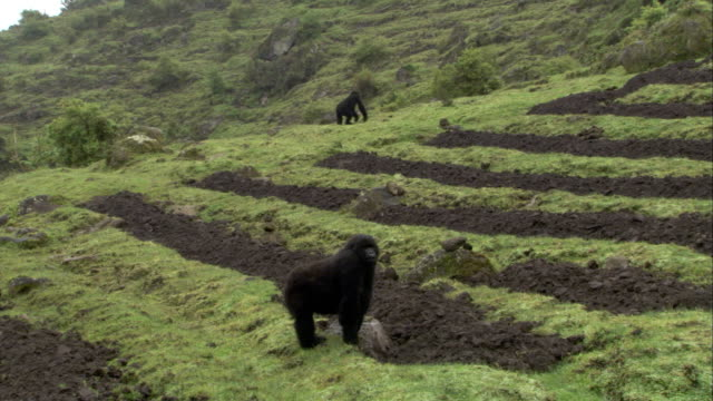 two mountain gorillas forage in a farm field. available in hd. - parc national des volcans rwanda stock videos and b-roll footage