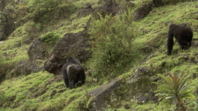 Two mountain gorillas forage on a rocky hill. Available in HD.